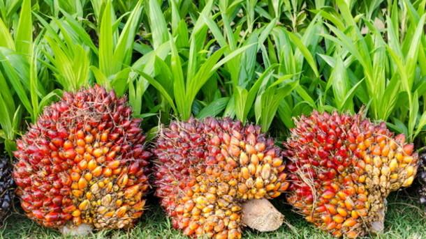 Contrordine. L'olio di palma fa bene e combatte il cancro (è vero che il cibo bio fa ammalare?)