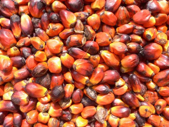 Raccolta di palma da olio in Ghana