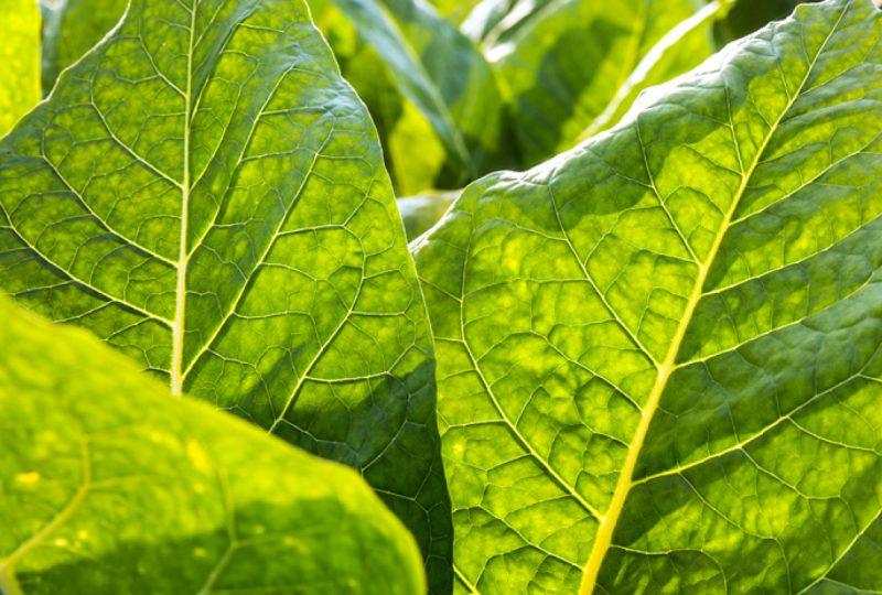 L'OMS ci impone le sigarette OGM, ma non ce lo vuole dire