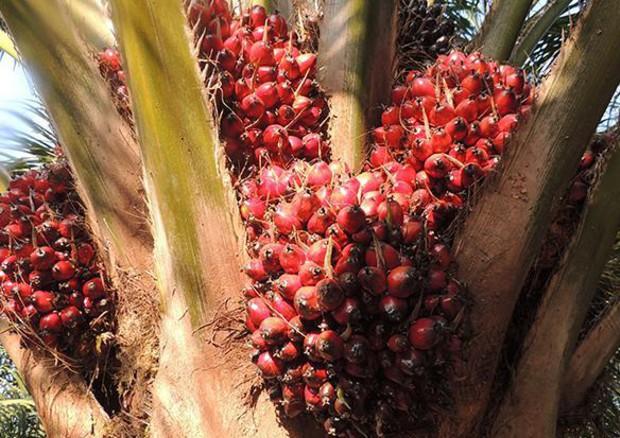 Olio di palma: filiera più sostenibile,+9% foreste certificate