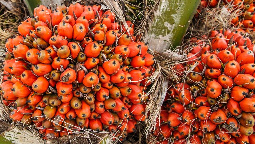 EFSA, passo indietro sui rischi legati al consumo di olio di palma