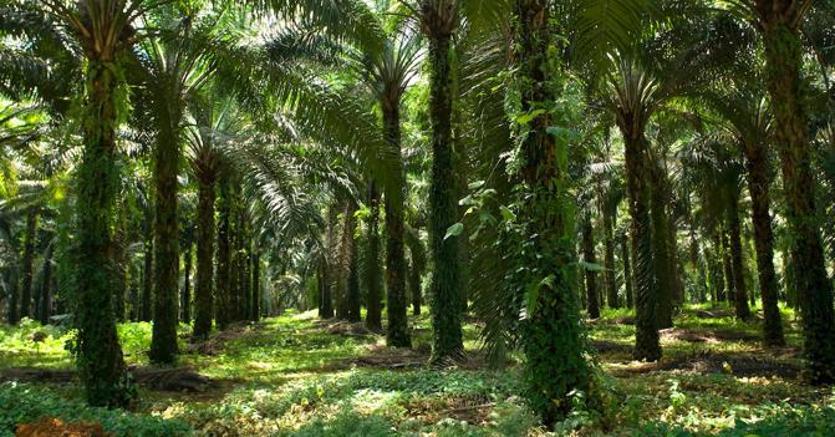 Albani (Tropical Forest Alliance 2020): l'olio di palma può offrire opportunità di sviluppo