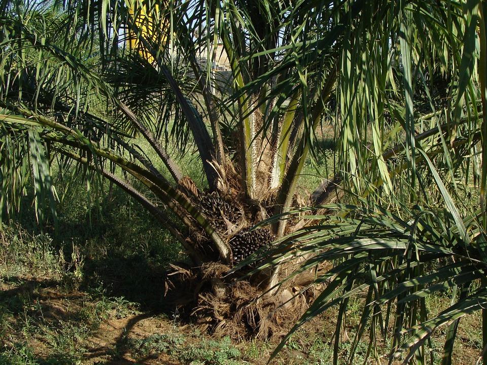 In difesa dell'olio di palma
