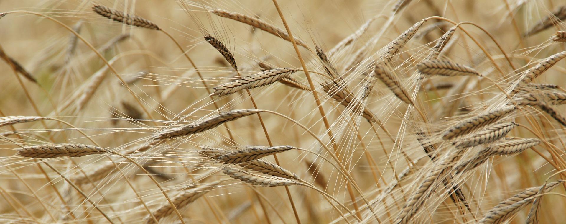 Stop al Protezionismo di Calenda-Martina: la qualità della pasta non dipende dalla provenienza del grano