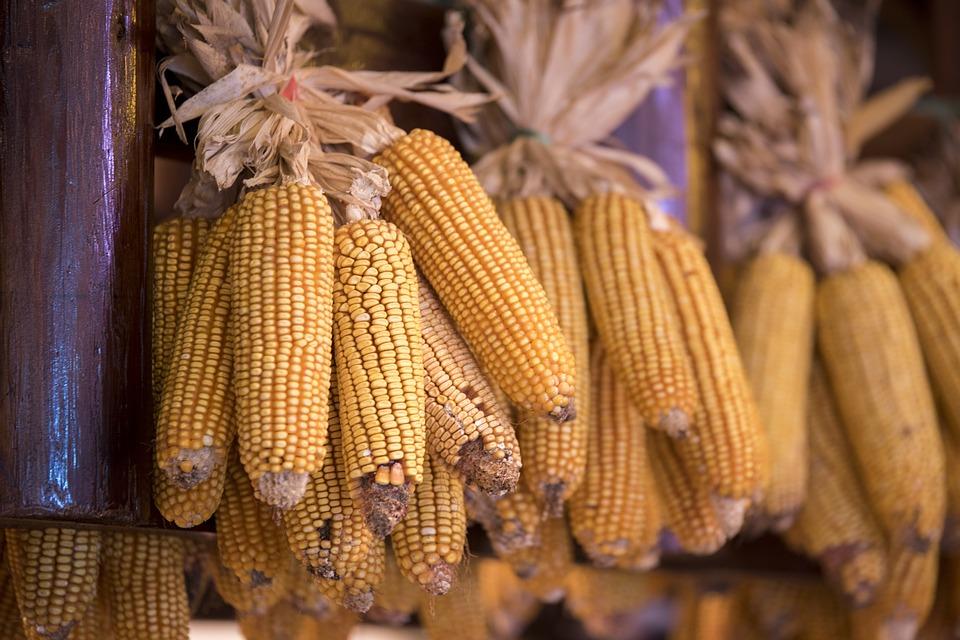 OGM: la Corte di Giustizia Europea Contro l'Italia