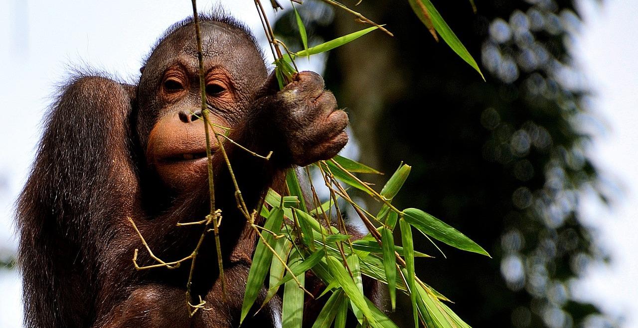 Le bugie degli animalisti sugli oranghi