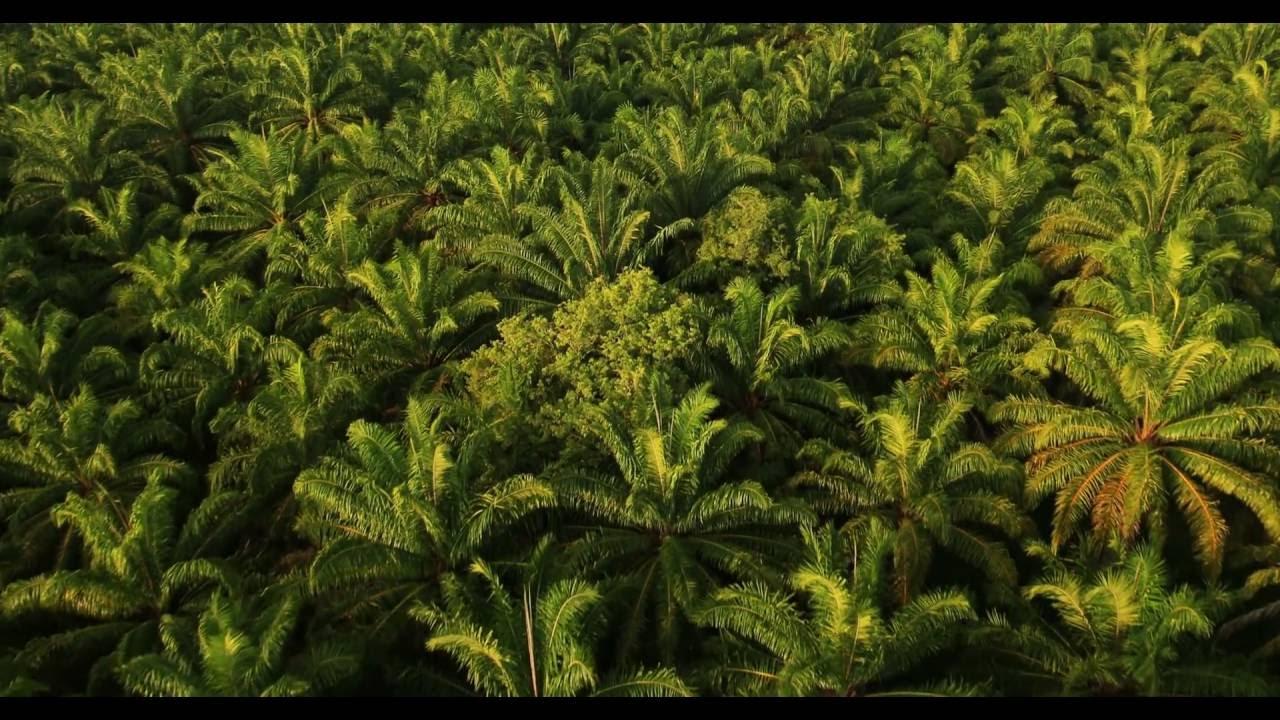Cittadini Salvano le Foreste: Come l'Olio di Palma Argina la Deforestazione