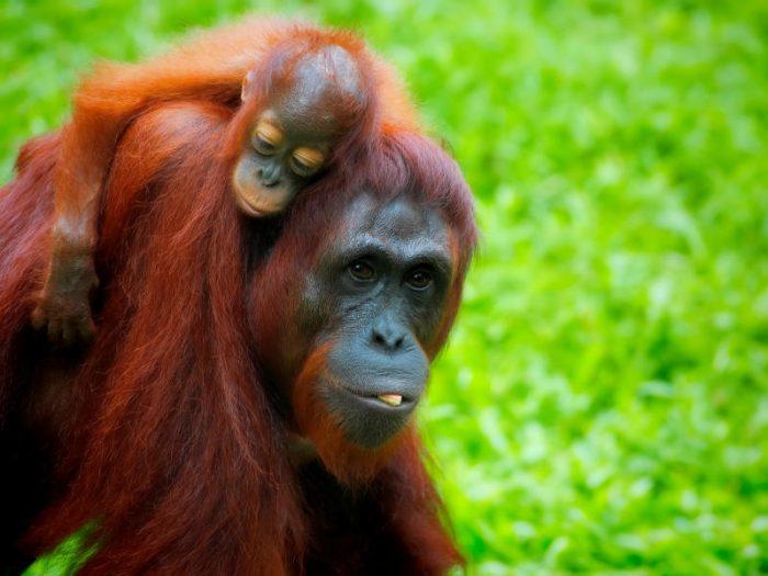 Giornata Internazionale dell'Orango: così li possiamo salvare